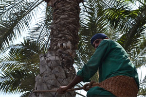palm-tree-notch-services-in-desert-turf-care
